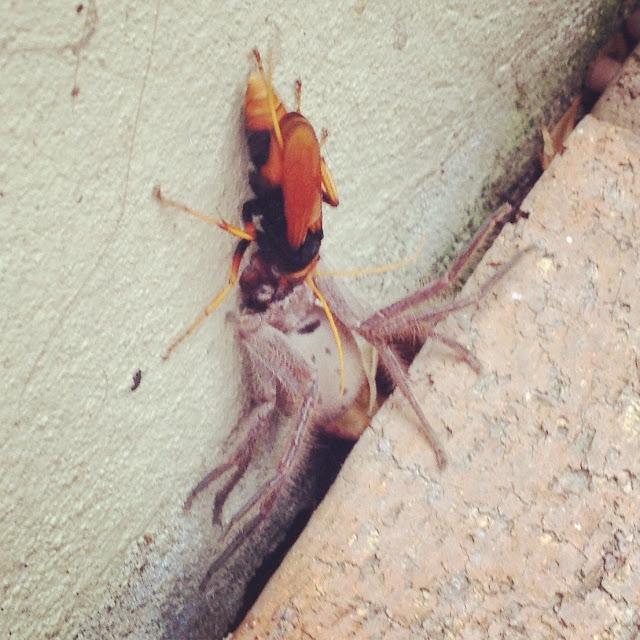 hornet-spider-wasp-eating