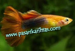 Jual Ikan Guppy Atau Gapi Terbaru