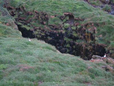 Puffins in Borgarfjordur, East Fjords, Iceland