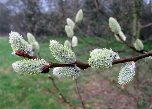 Pussy Willow catkins on a rainy day in Jubilee Country Park