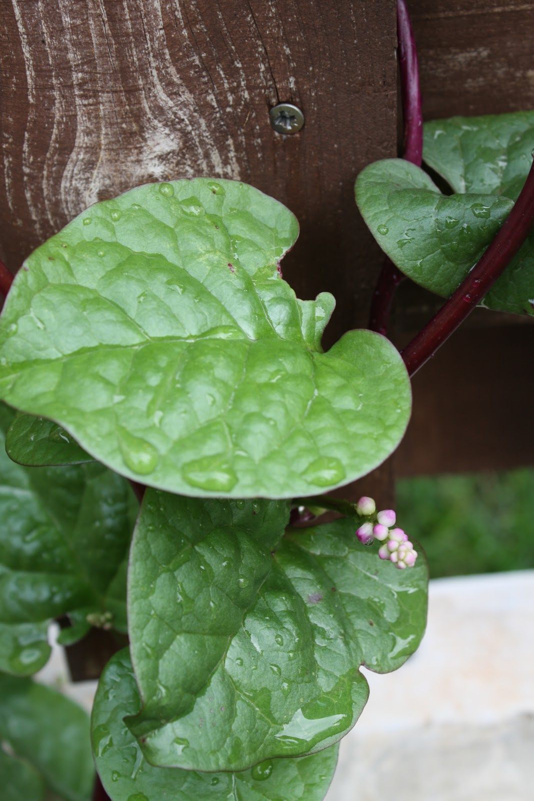 Temperate Climate Permaculture: Permaculture Plants ...
