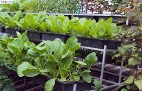 Trồng rau xanh trên sân thượng đơn giản