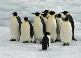 Emperor Penguin pictures
