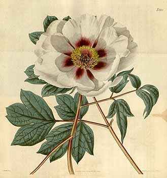 Paeonia Suffruticosa Andrews Var Papayeracea As Moutan Sims 6269 737989 9167 Curtiss Botanical Magazine Vol 47 T