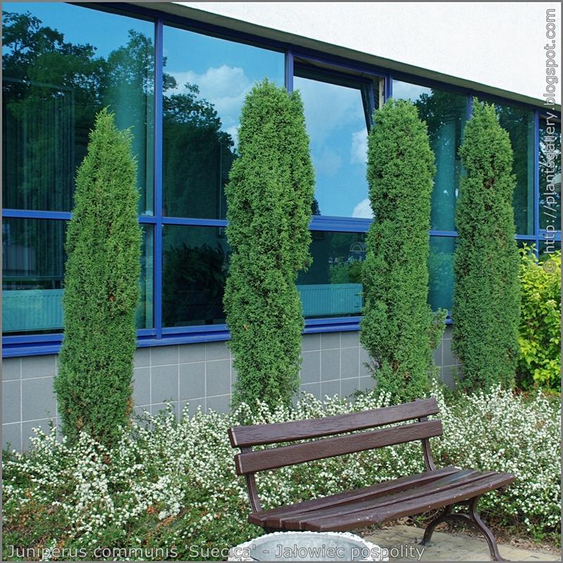 Juniperus communis 'Suecica' habit - Jałowiec pospolity 'Suecica' pokrój