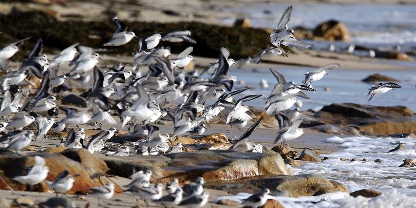 Bécasseaux sanderling.