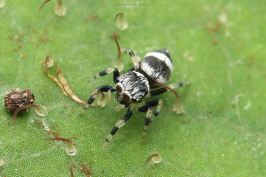 White-banded tiny jumping spider