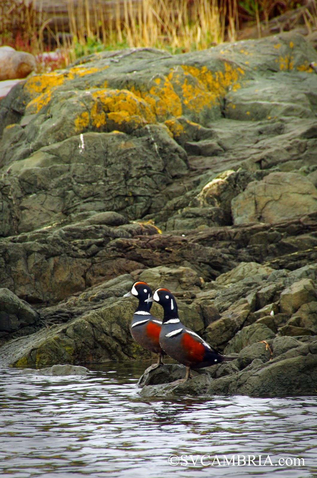 Harlequin ducks on Mitlenatch Island.