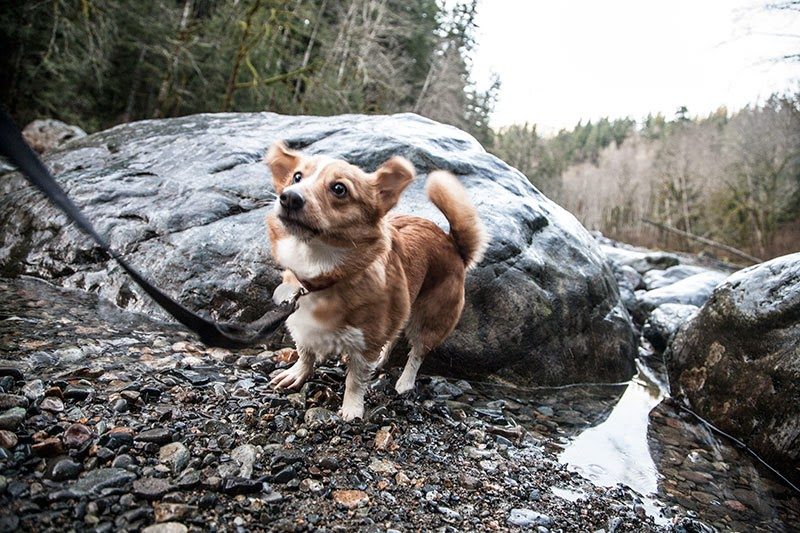 Umi the corgi at Twin Falls Hike in Washington State