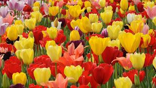 Tulip HD Flower Wallpaper
