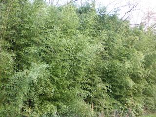 Bosque de bambú Francia