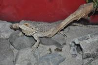 Cornelius the Bearded Dragon
