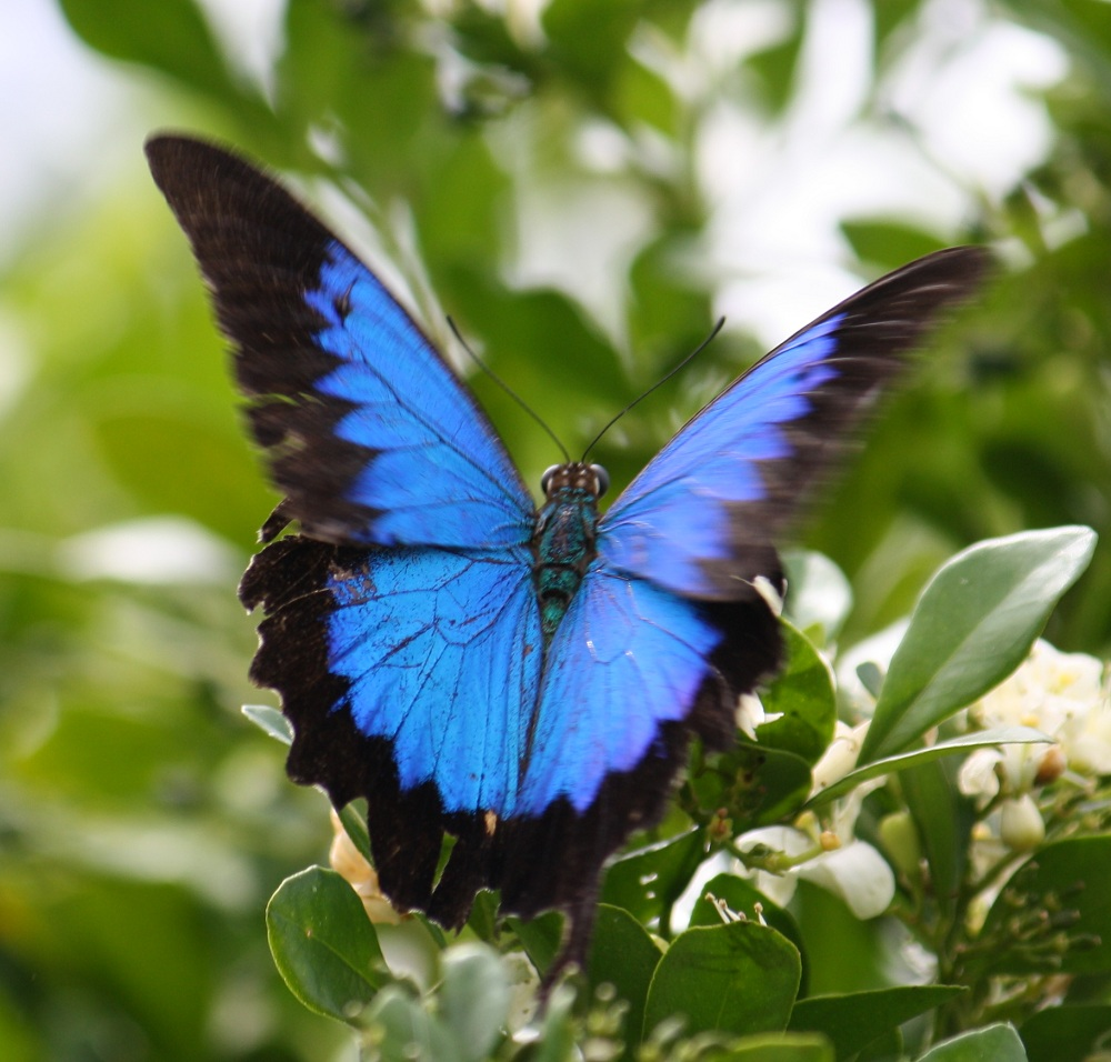 Ulysses Butterfly Essences of Photograph...