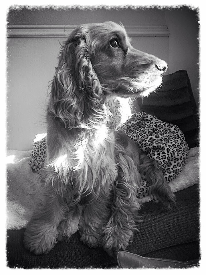 A Spaniels Tail Black and White Sunday Catching a sunbeam