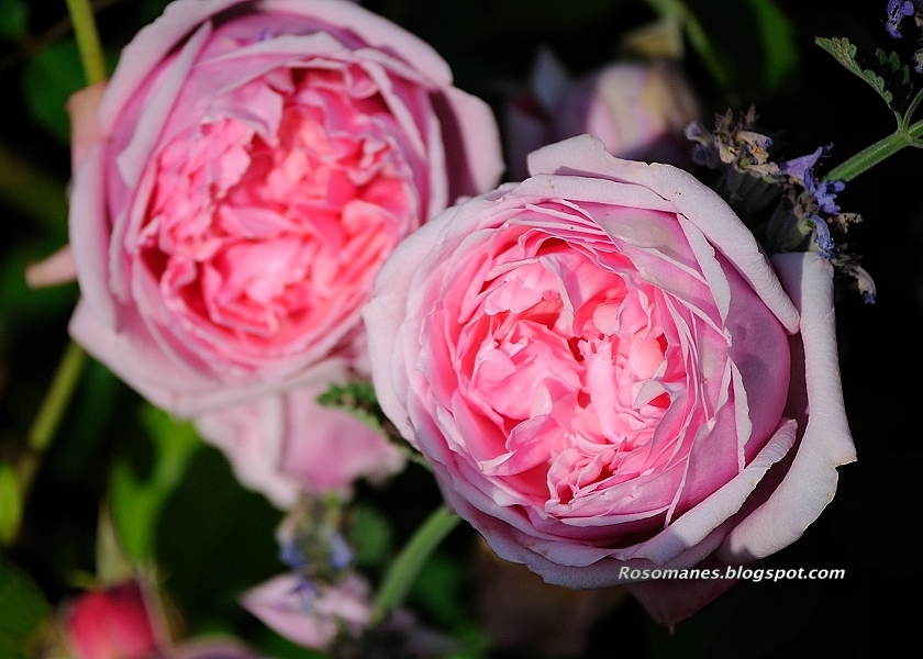 how to keep bugs off my rose bushes