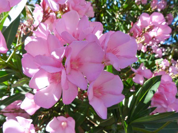 http://1.bp.blogspot.com/-w8sTX6yTkco/UiVtdpKCdFI/AAAAAAAAR_4/sBJWEr55unU/s1600/NSanPedro.PinkOleander.7.18.13.600.jpg