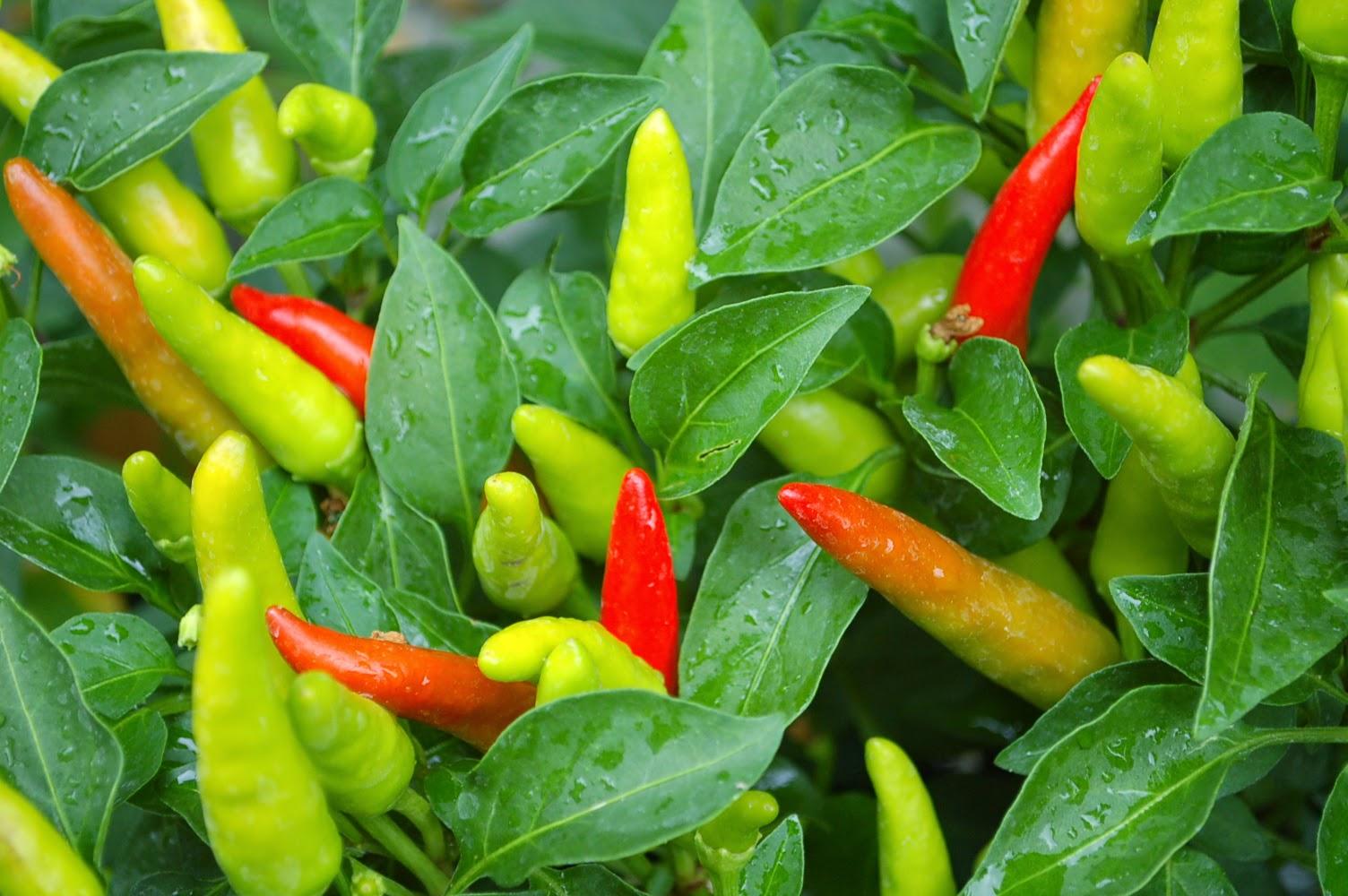 edible garden, vegetables, gardening