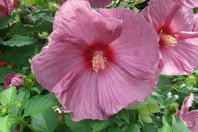 "Hibiscus moscheutos ""Luna Rose"" by garden muses: a Toronto gardening blog"