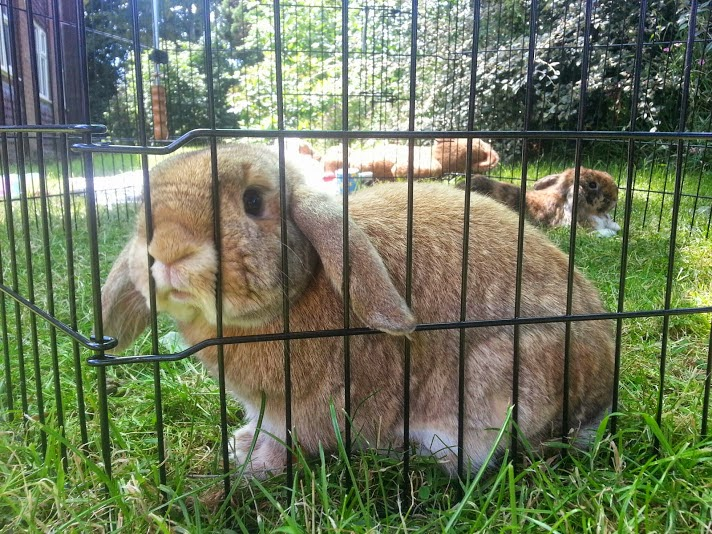 Barny Bear's Little Adventure - Rabbit looking through bars of run in garden