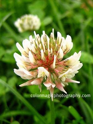 White clover flower-close up