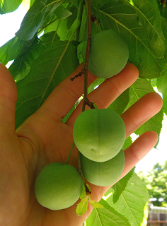 Three Large Green Apricots on Tree