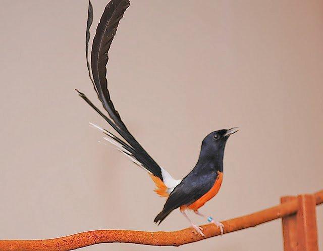 gambar burung murai batu juara