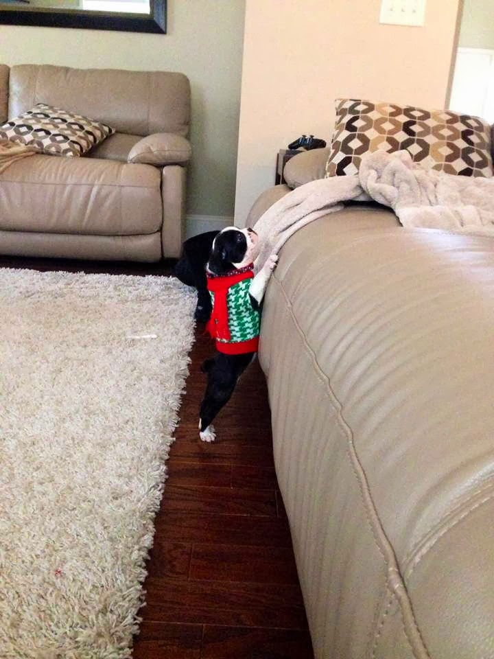Cute dogs (50 pics), dog pictures, cute little puppy tries to get on couch