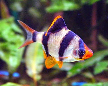 Tiger barb fish fun animals wiki videos pictures stories for Tiger fish pictures