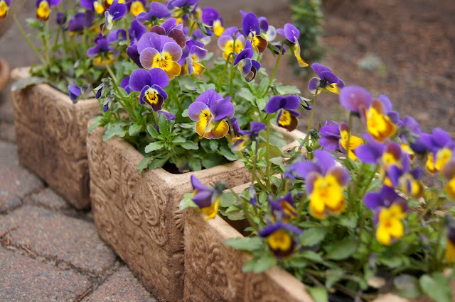 pansies in boxes