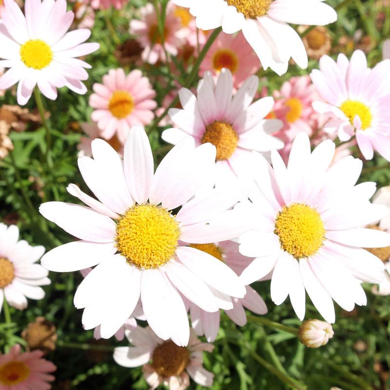 実家の庭に咲いた花の写真