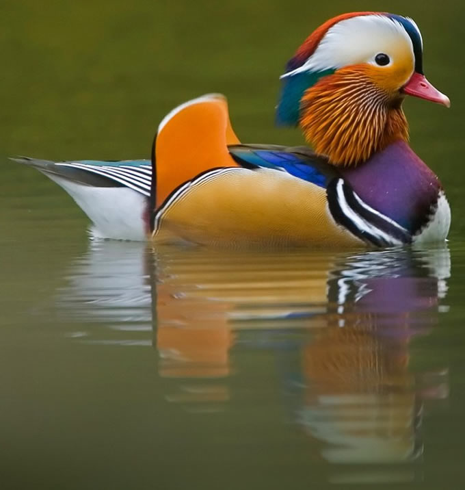 Pato-mandarim