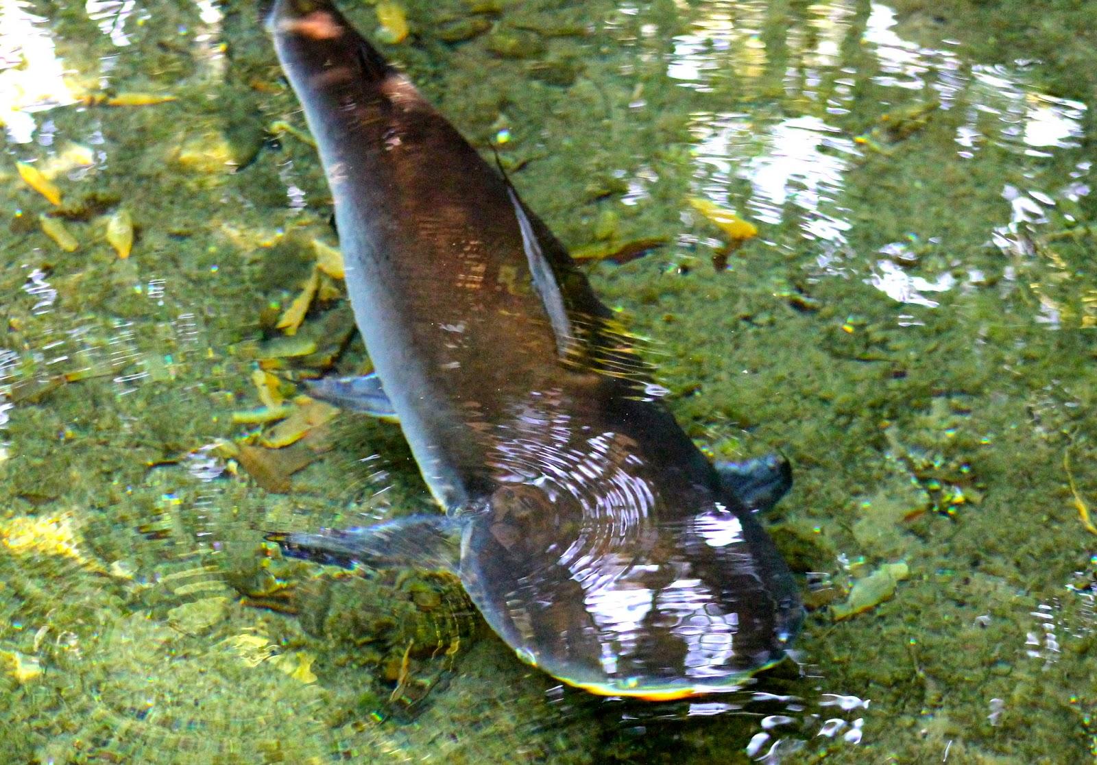 Catfish Habitat | Safari Mike Paroon Shark Catfish