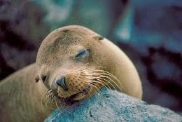 Why did the japanese sea lion became extinct