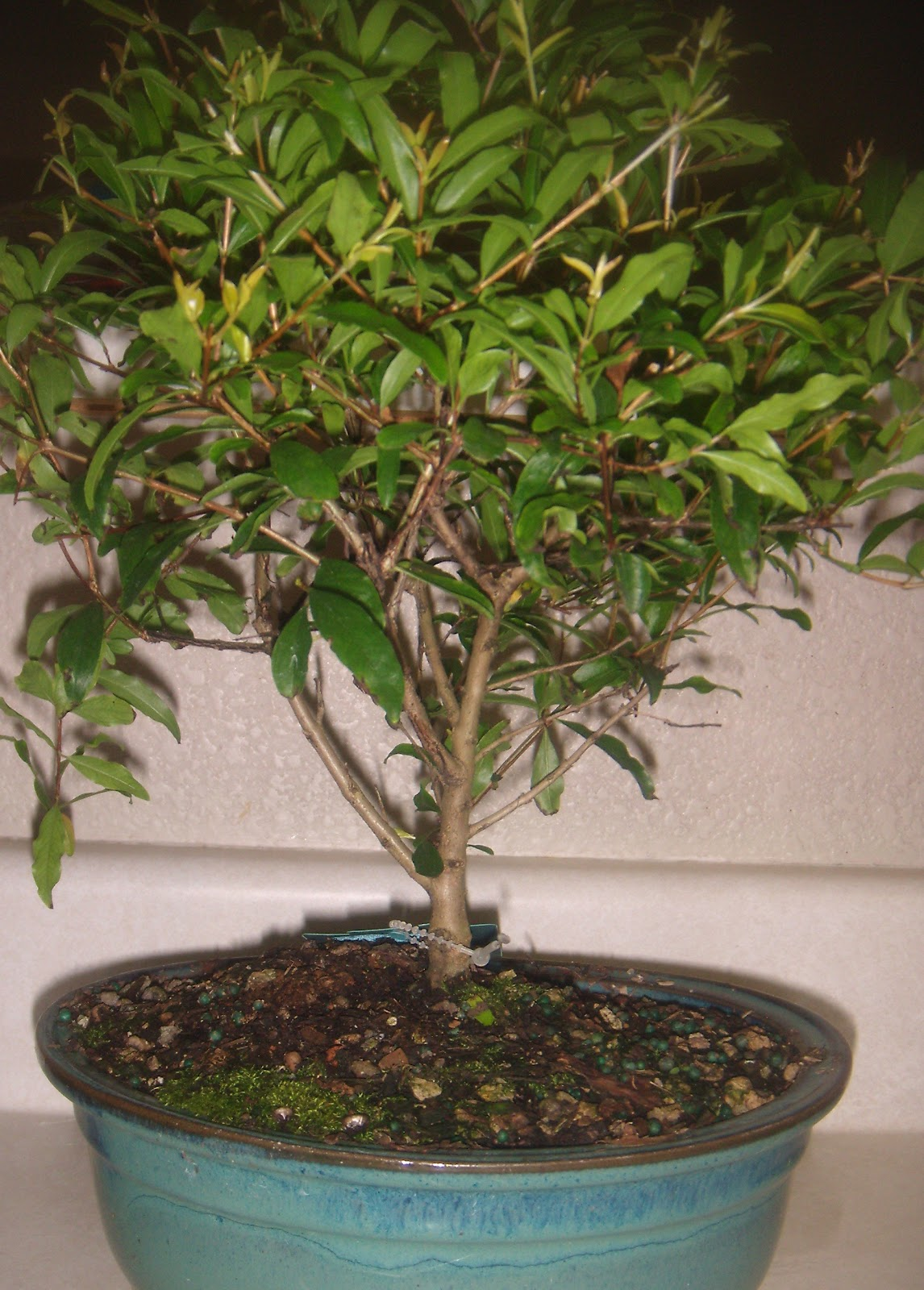 Mommie Of 2 The Soothing Company Pomegranate Bonsai Tree Review