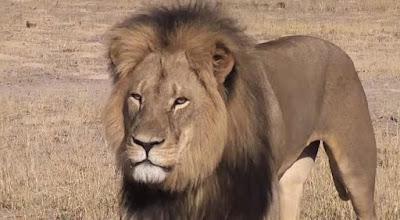 Cecil, el precioso ejemplar asesinado
