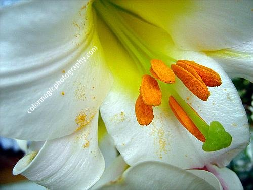 White lily center-Lilium-macro photography
