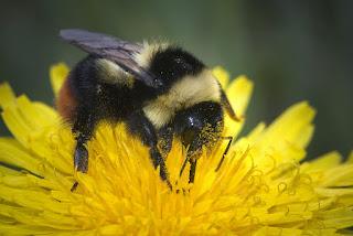 Para ampliar Bombus lapidarius decipiens (abejorro) hacer clic