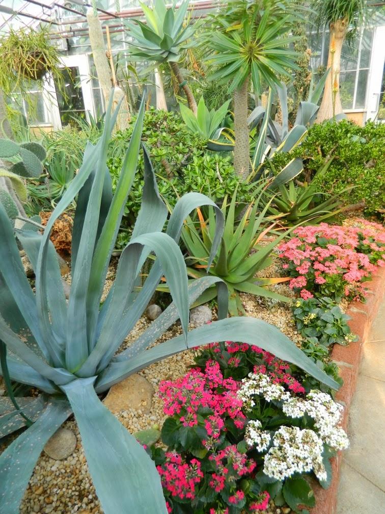 Centennial Park Conservatory Etobicoke agave pink kalanchoe desert garden by garden muses-not another Toronto gardening blog