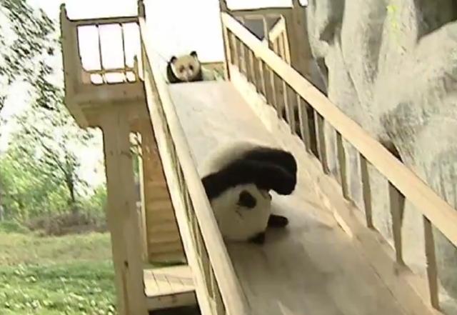 Filhotes de panda brincando no escorregador