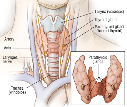parathyroid and thyroid relationship problems