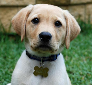 Labrador Retriever Puppy Picture