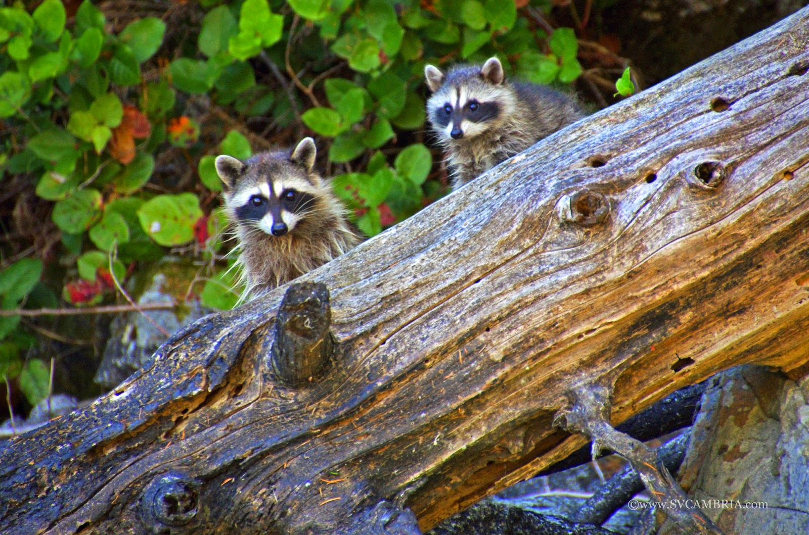 Raccoons foraging along the shore in Octopus Islands Marine Park.