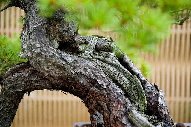 pinheiro negro; kuromatsu; wabi sabi; jardim japones