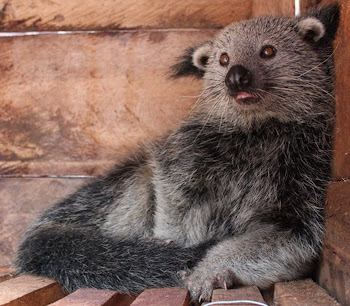 Binturung (Archictis Binturong)