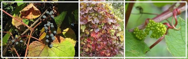 Чубуки сажают осенью