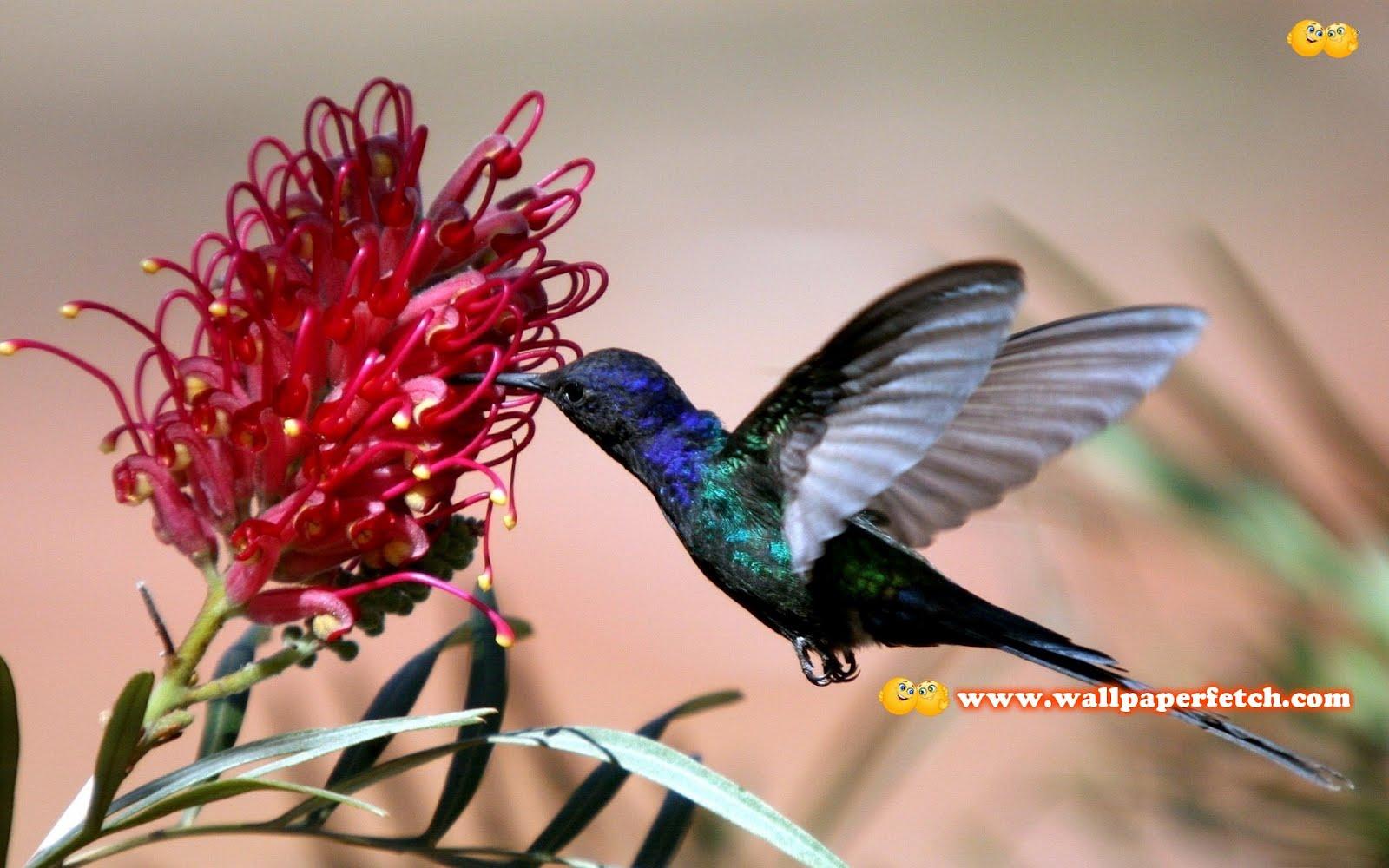 http://1.bp.blogspot.com/-wC1tlzXvhPA/T1CmHVnVzsI/AAAAAAAAMoI/8DznAUNWqOU/s1600/hummingbird-10654-1920x1200.jpg