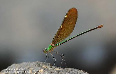 stream glory dragonfly