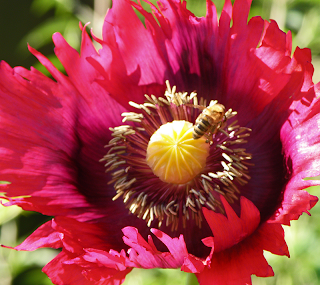 Honeybee on Serrated Red Poppy