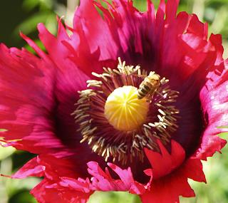 Honeybee on Serrated Red Poppy