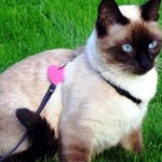 Maintaining Cats - 6 Tips Train Siamese cats